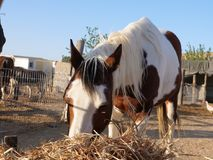 Brown and white skewbald horse eating hay Stock Photos