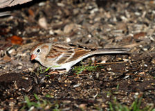 Brown and White Small Bird Stock Image