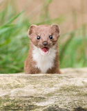 Brown and White Snarling Weasel Stock Images