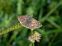 Grizzled skipper, Pyrgus malvae butterfly at rest. Royalty Free Stock Image