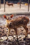 Brown and White Spotted Deer stock photos