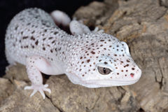 Brown and White Spotted Leopard Gecko. Close-up of a white and brown spotted leopard gecko (Eublepharis macularis royalty free stock photography