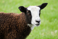 Brown and white spotted sheep Royalty Free Stock Image