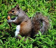 Brown and White Squirel on Green Grass Stock Photography