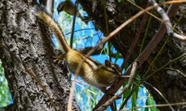Brown and White Squirrel on Brown Tree Branch Royalty Free Stock Images