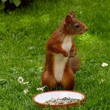 Brown and White Squirrel on Green Grass Royalty Free Stock Photo