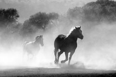 Brown and White Stallions Running in a Field Royalty Free Stock Photo