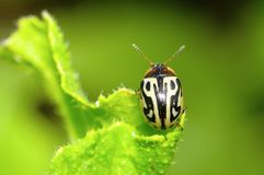 Brown and white striped beetle near Pune. Maharashtra Stock Photos