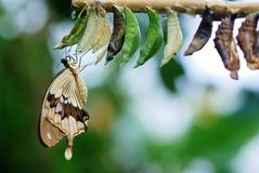 Brown and White Swallowtail Butterfly Under White Green and Brown Cocoon in Shallow Focus Lens Stock Image