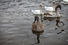 Brown and White Swans Stock Photography