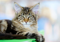 Brown-white tabby Maine Coon cat Stock Photos