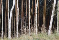 Brown and white tree trunks in the forest Stock Image