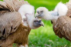 Brown and White Vultures Standing on Grass Field in Close Up Photography during Daytime Stock Photos