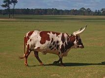 Brown & White Watusi Steer Royalty Free Stock Photos