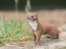 Brown and White Weasel stock photography