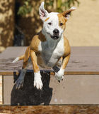 Brown and white wet dog jumping into the pool Stock Image
