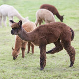 Brown and white young alpaca in green meadow Stock Photos