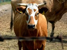 Young brown and white cow portrait in farm setting. Brown and white young cow portrait in rural farm setting and background with blurry barb wire in the front royalty free stock photos