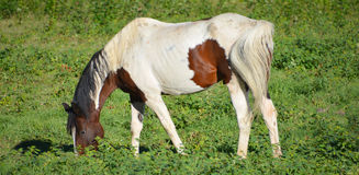 Brown and white young horse Stock Image