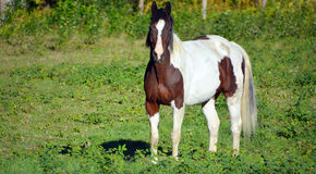 Brown and white young horse Royalty Free Stock Images