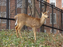 Brown Whitetail Deer stock photography