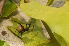Brown Widow Stock Image