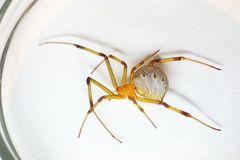 Brown widow spider. Side view of Brown widow spider specimen on the Petri dish grass Stock Photo