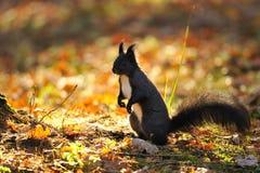 Brown wiewiórka na ziemi zdjęcia stock