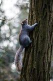 Brown wiewiórka wokoło Holandia parka w Londyn Zdjęcie Stock
