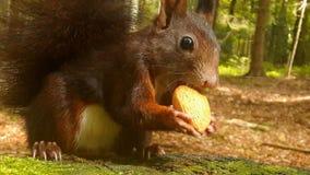 Brown wiewiórka z migdałami Fotografia Stock