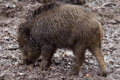 Brown Wild Boar on Dirt Ground at Daytime Stock Image