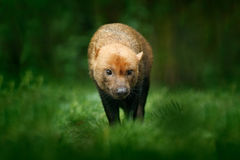 Brown wild Bush Dog, Speothos venaticus, from Peru tropical forest. Wildlife scene from nature. Animal in the forest habitat. Rare Royalty Free Stock Photo