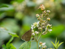 Brown wild butterfly on plant. Brown wild butterfly with spot on side of a plant Royalty Free Stock Photos