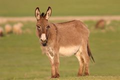 Brown wild donkey on the green pasture Royalty Free Stock Photography