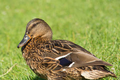 Brown wild duck (Anas platyrhynchos) on green grass Royalty Free Stock Photo