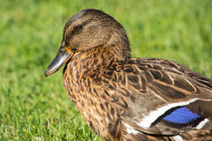 Brown wild duck (Anas platyrhynchos) on green grass. The Mallard or Wild Duck is a dabbling duck which breeds throughout the temperate and subtropical Americas Royalty Free Stock Photo