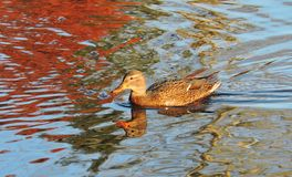 Brown wild duck Royalty Free Stock Images