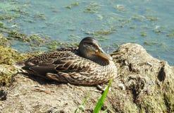 Brown wild duck Stock Photo