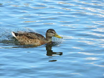 Brown wild duck royalty free stock photo
