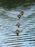 Brown wild ducks Stock Photography