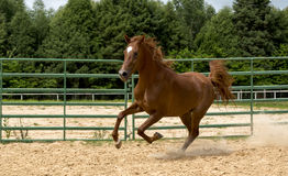 Brown wild Horse. Adult Brown arabian horse running Stock Photo