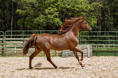 Brown wild Horse. Adult Brown arabian horse running Stock Images