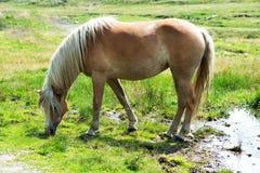 Brown wild horse grazing on pastureland in summer Stock Photos