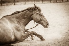 Brown wild horse lying on sand Royalty Free Stock Images