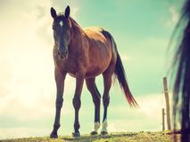 Brown wild horse on meadow idyllic field Stock Images