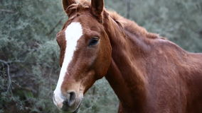 Brown wild horse stock video