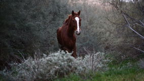 Brown wild horse stock video footage