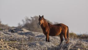 Brown Wild Horse in Prairie Royalty Free Stock Photography