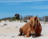 Brown wild horse relaxing on Assateague Island Royalty Free Stock Images