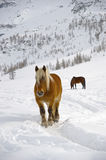Brown and wild horse in snow Royalty Free Stock Images
